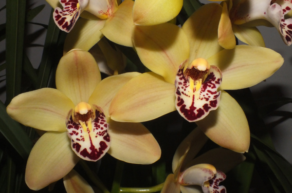 Cym. Jimbo Tupp 'Stevie' x Arabian Gold 'Sovereign'